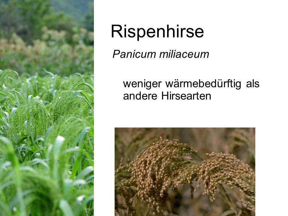 Rispenhirse Panicum miliaceum