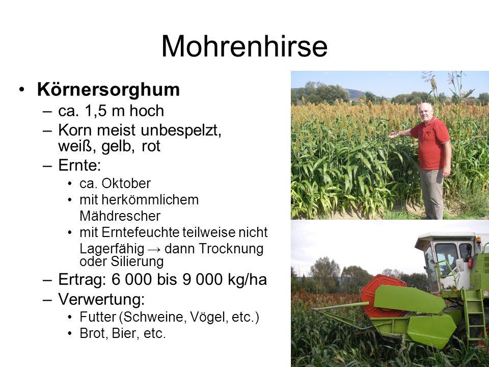 Mohrenhirse Körnersorghum ca. 1,5 m hoch