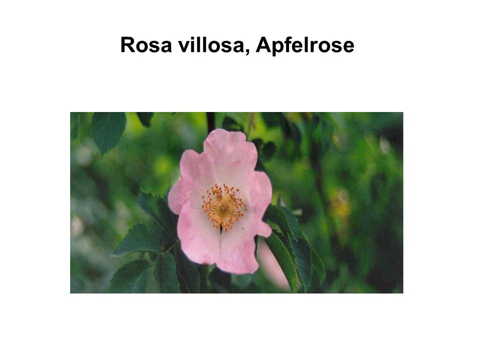 Rosa villosa, Apfelrose