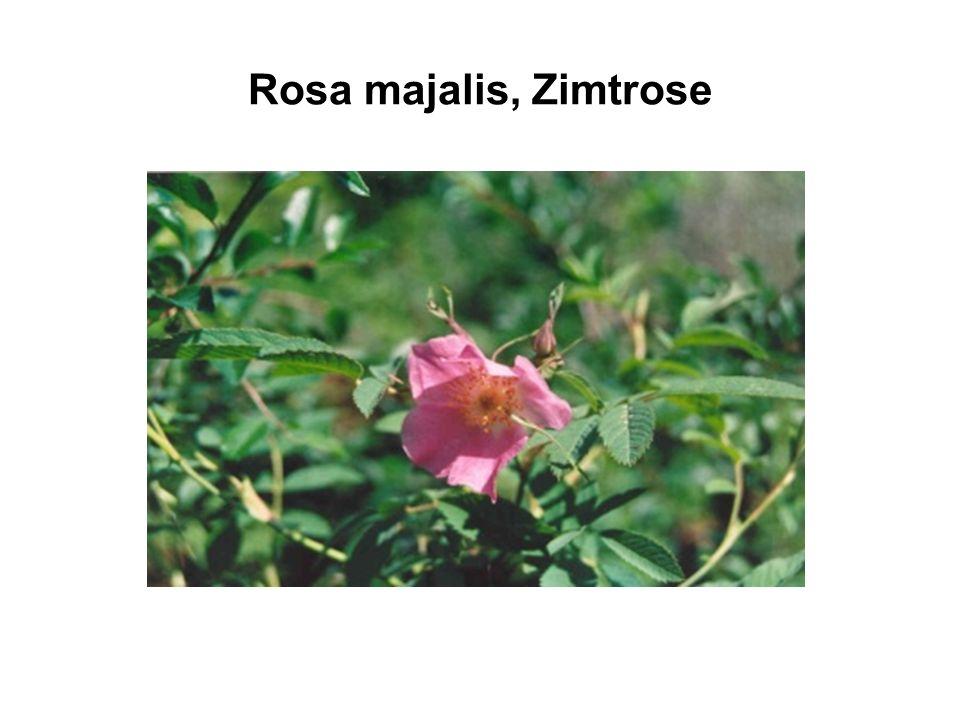 Rosa majalis, Zimtrose