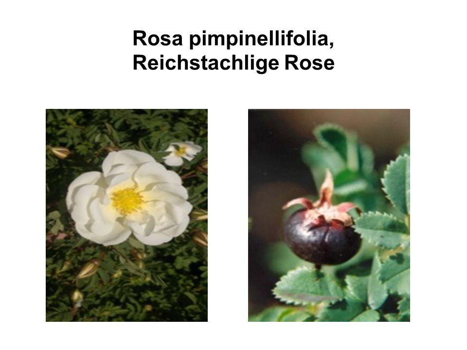 Rosa pimpinellifolia, Reichstachlige Rose