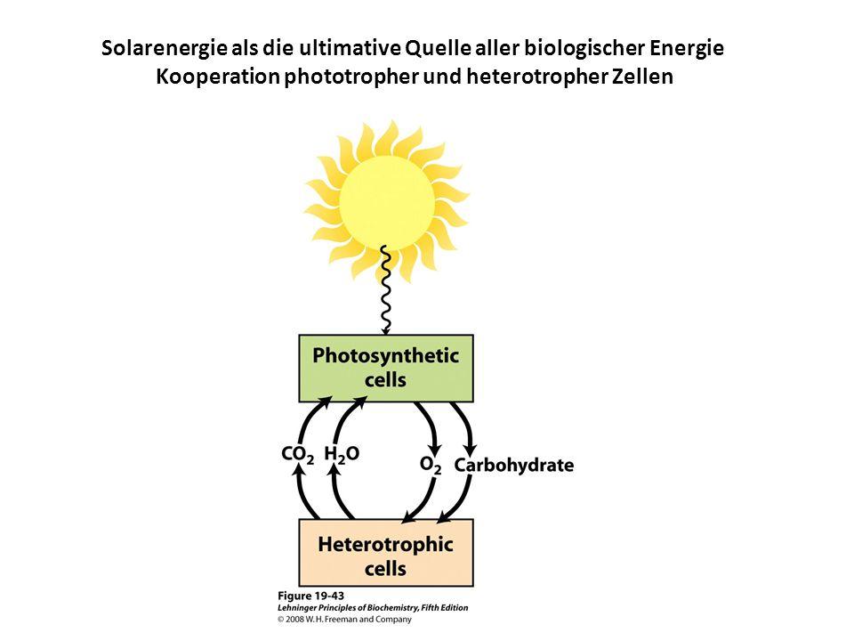 Kooperation phototropher und heterotropher Zellen