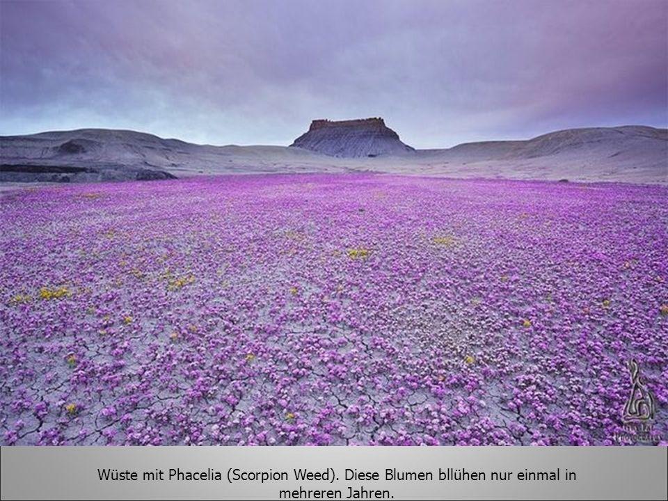 Wüste mit Phacelia (Scorpion Weed)