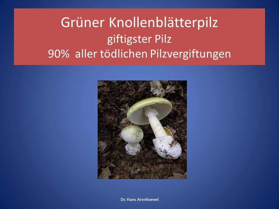 Grüner Knollenblätterpilz giftigster Pilz 90% aller tödlichen Pilzvergiftungen