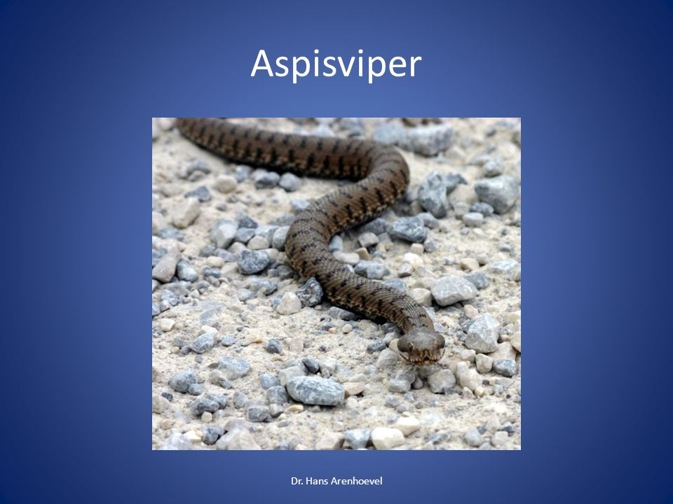 Aspisviper Dr. Hans Arenhoevel