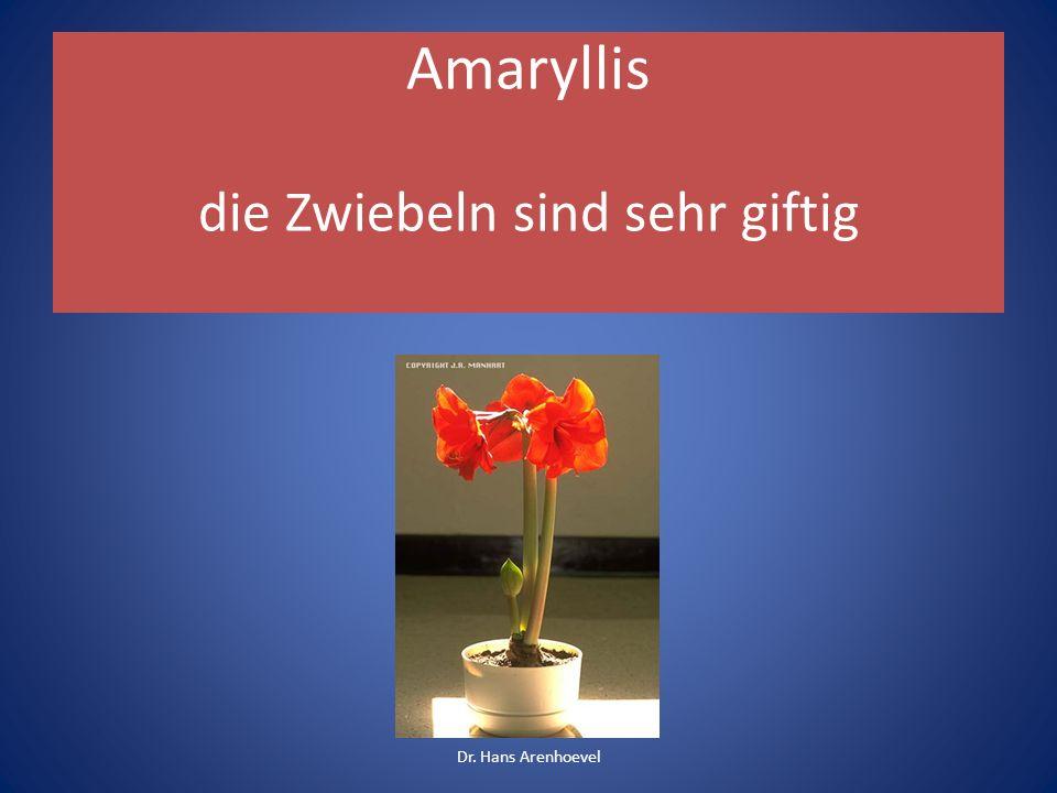 Amaryllis die Zwiebeln sind sehr giftig