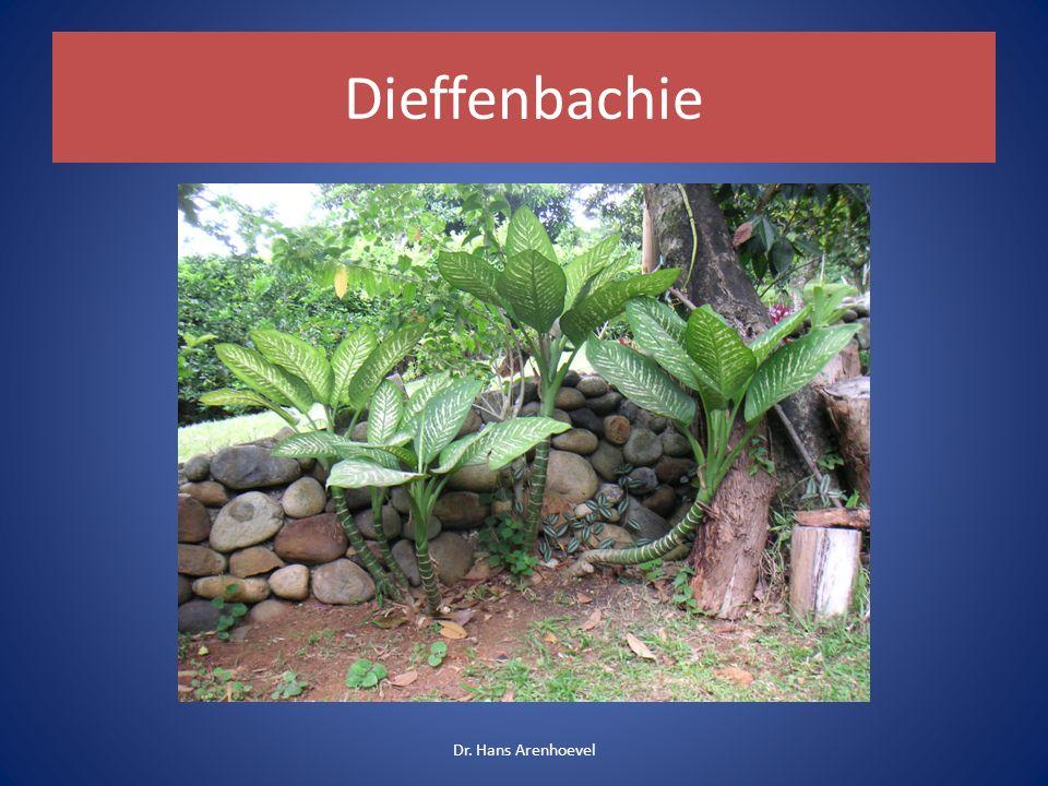 Dieffenbachie Dr. Hans Arenhoevel