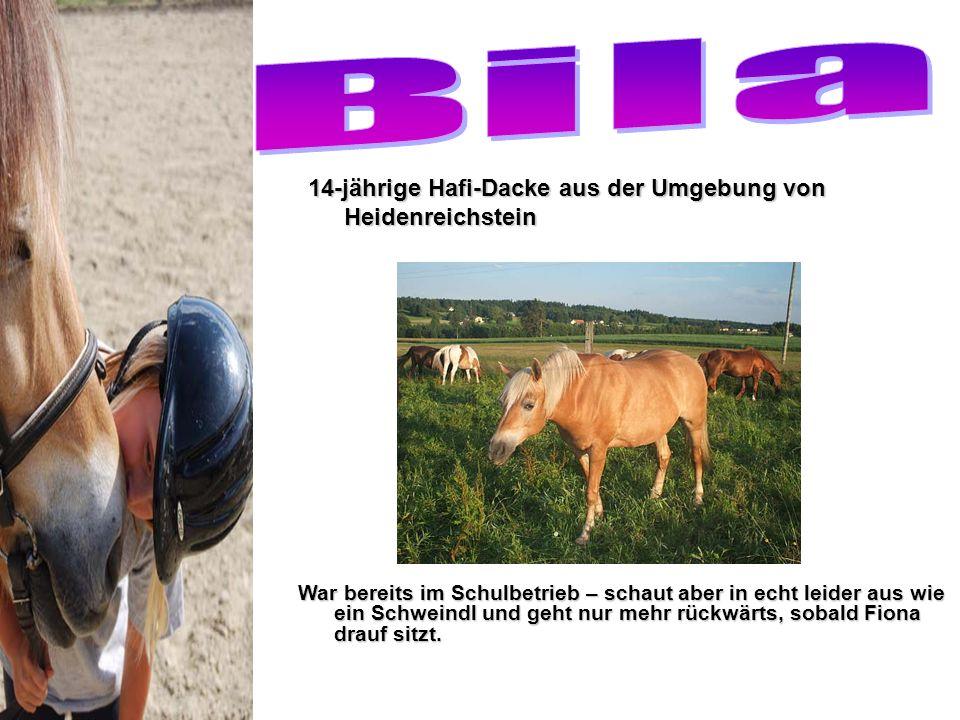 Bila 14-jährige Hafi-Dacke aus der Umgebung von Heidenreichstein
