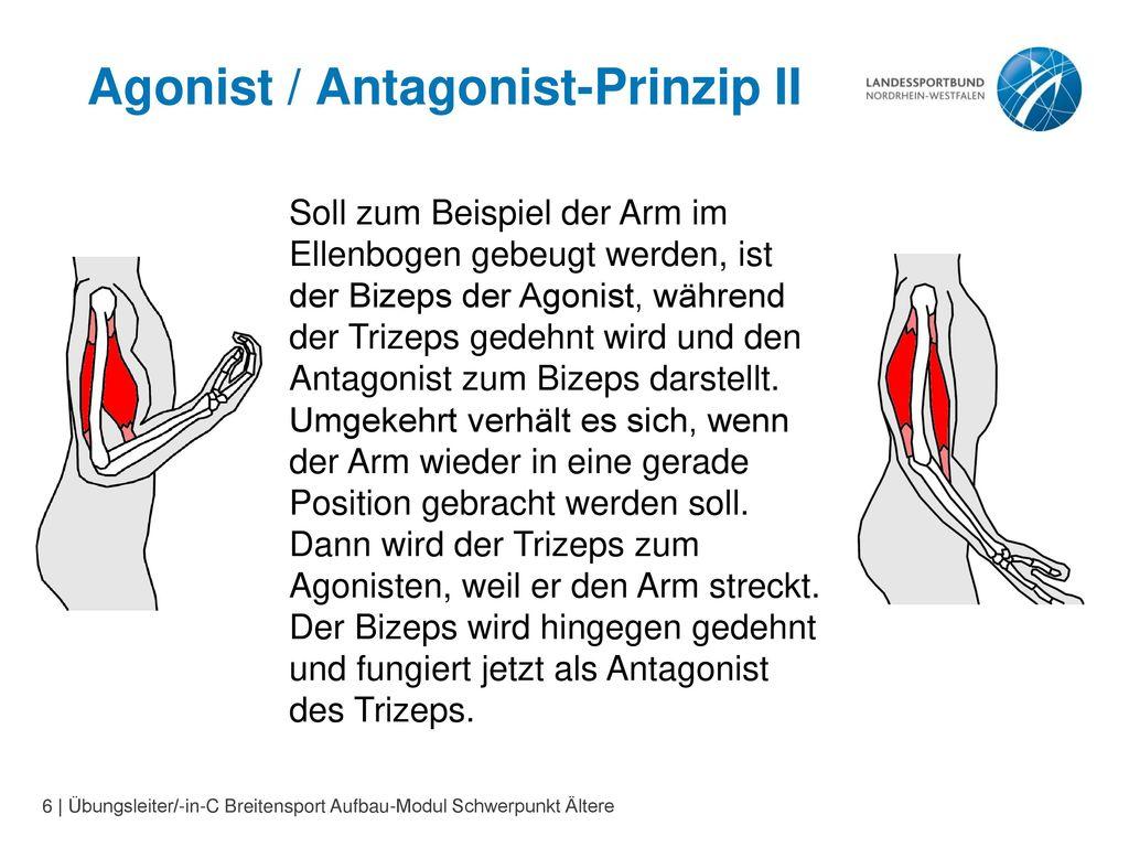 Großartig Bizeps Trizeps Anatomie Galerie - Anatomie Von ...