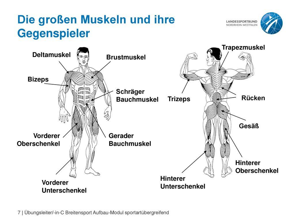 Nett Hinterer Oberschenkel Muskelanatomie Zeitgenössisch ...