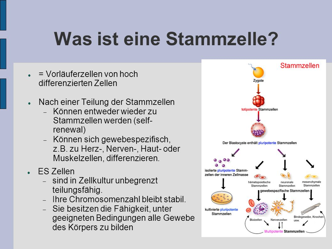 Was ist eine Stammzelle