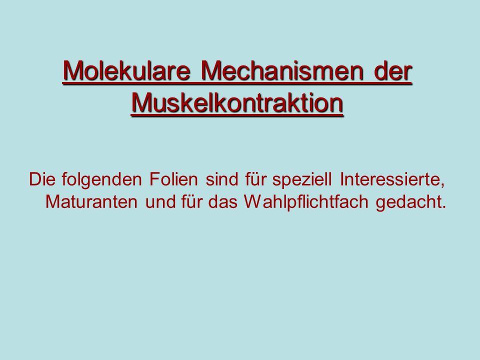 Molekulare Mechanismen der Muskelkontraktion