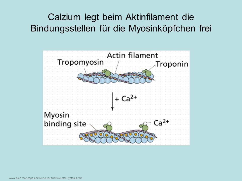 Calzium legt beim Aktinfilament die Bindungsstellen für die Myosinköpfchen frei