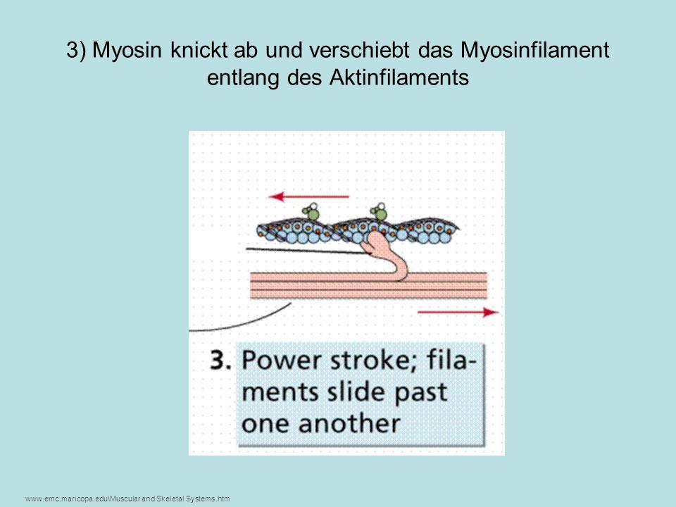 3) Myosin knickt ab und verschiebt das Myosinfilament entlang des Aktinfilaments