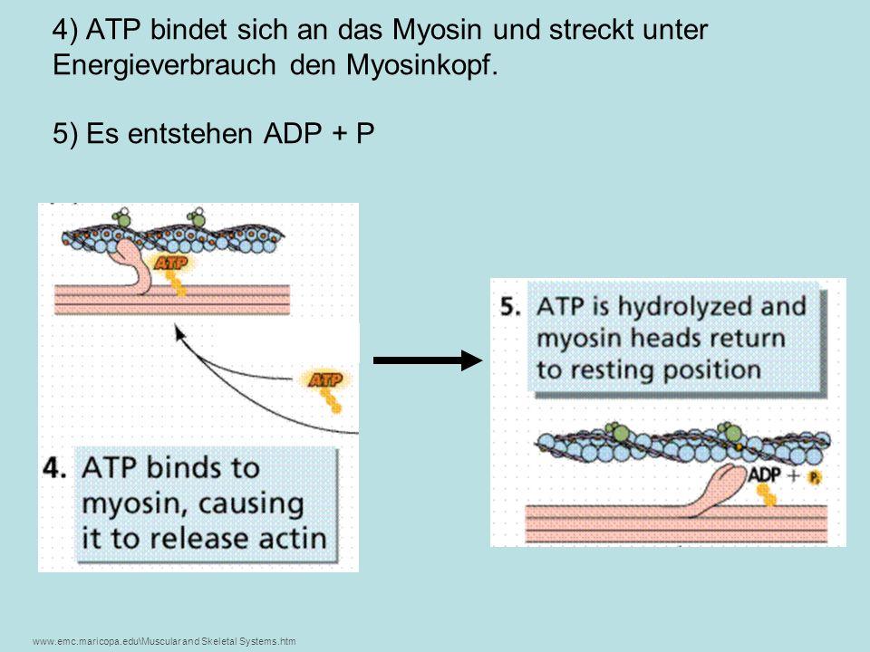 4) ATP bindet sich an das Myosin und streckt unter