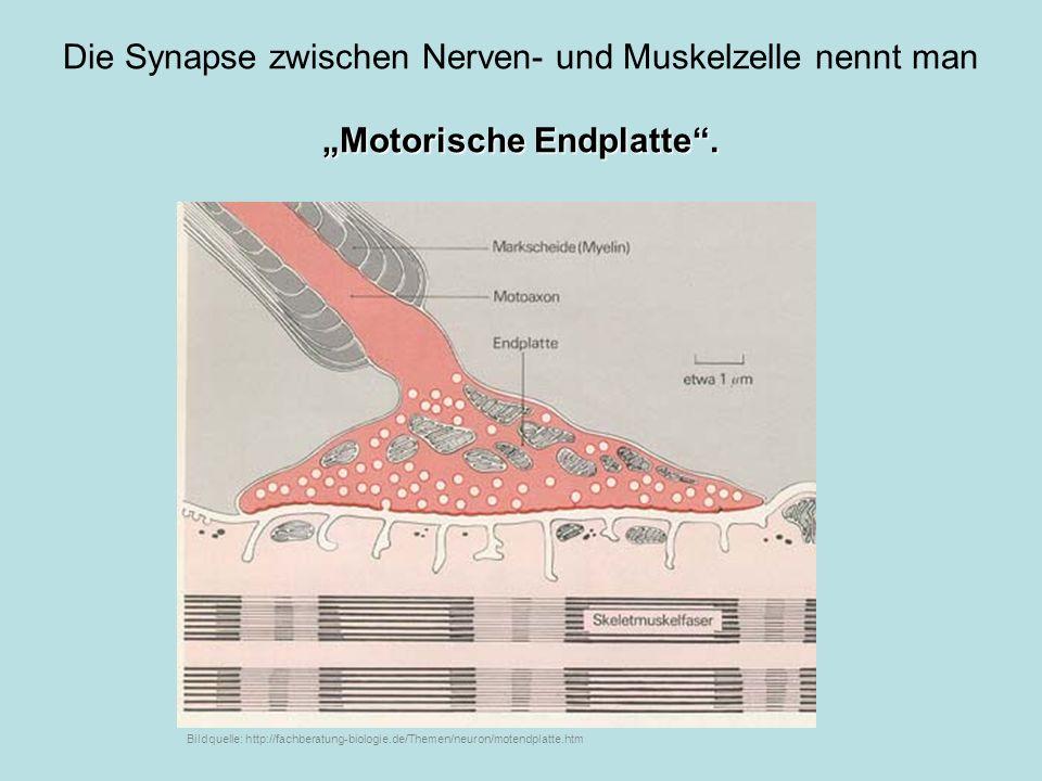 """Motorische Endplatte ."