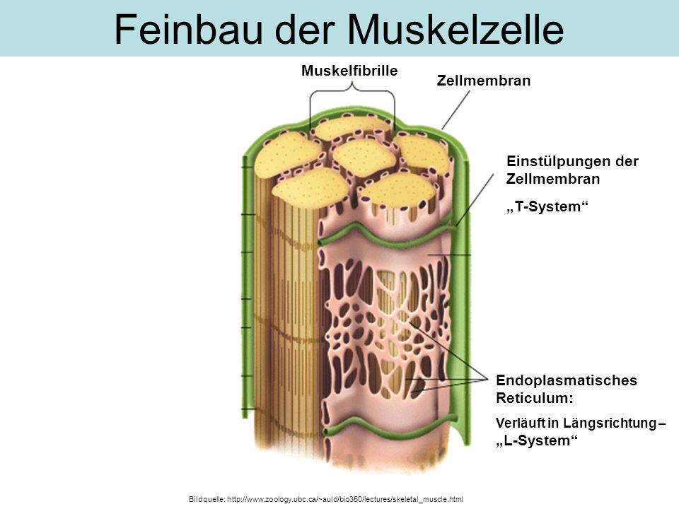 Feinbau der Muskelzelle