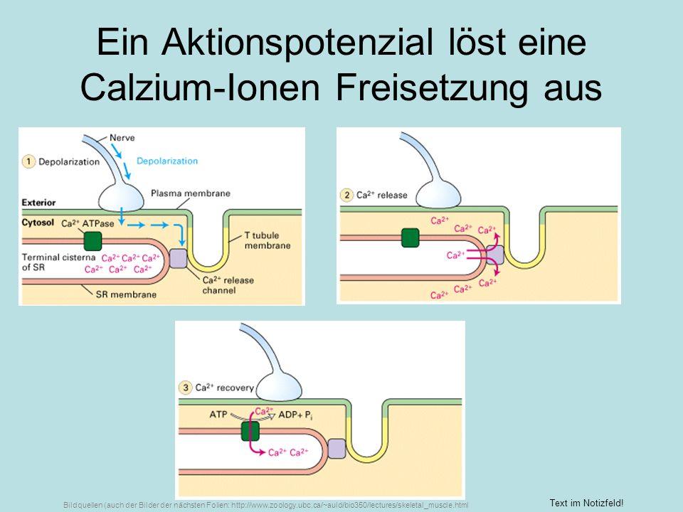 Ein Aktionspotenzial löst eine Calzium-Ionen Freisetzung aus