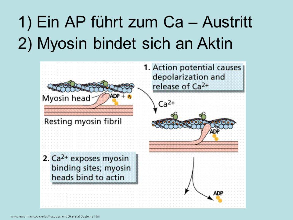 1) Ein AP führt zum Ca – Austritt