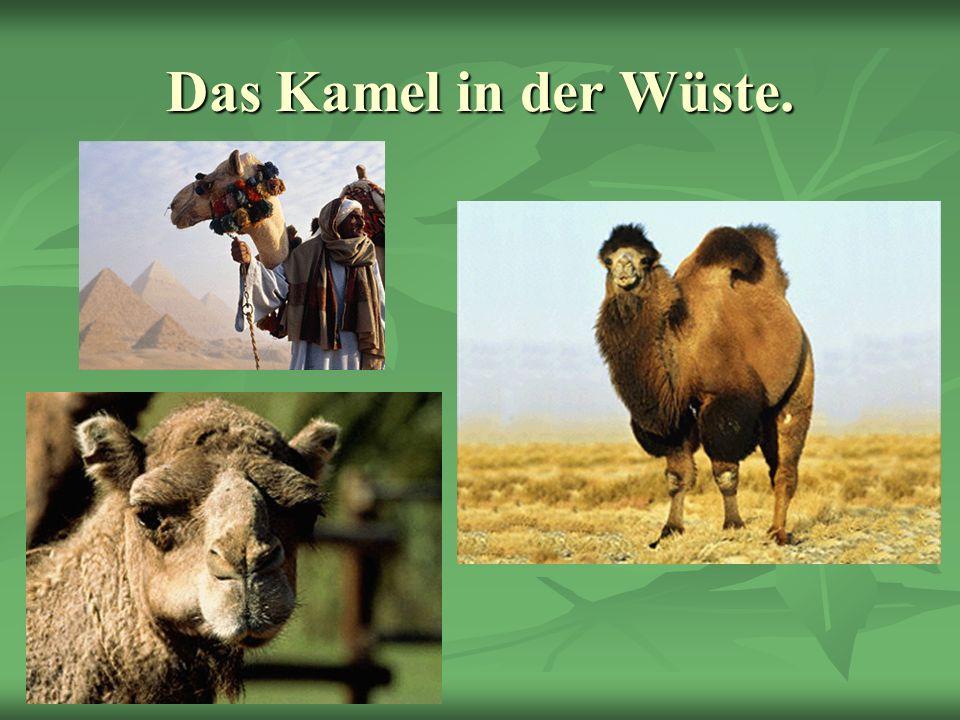 Das Kamel in der Wüste.