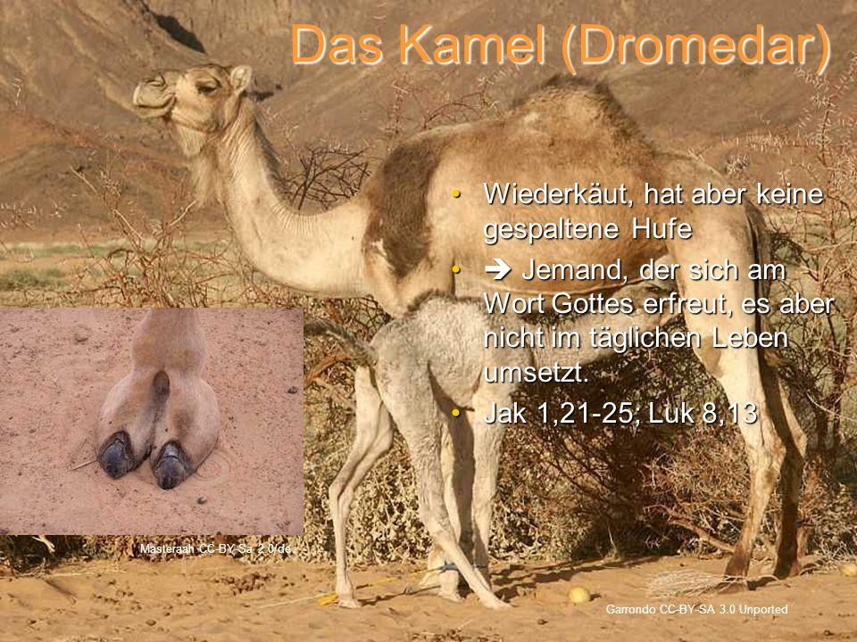 Das Kamel (Dromedar) Wiederkäut, hat aber keine gespaltene Hufe