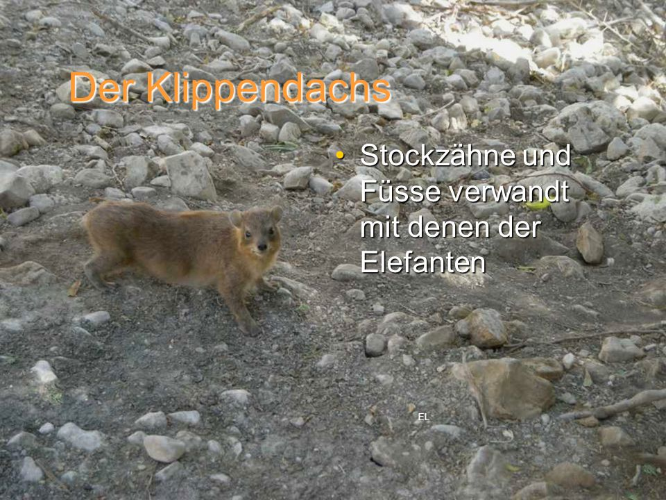Der Klippendachs Stockzähne und Füsse verwandt mit denen der Elefanten