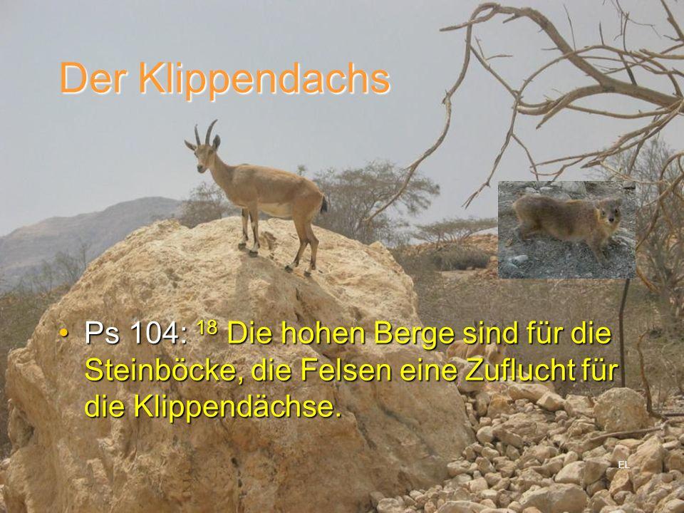Der Klippendachs Ps 104: 18 Die hohen Berge sind für die Steinböcke, die Felsen eine Zuflucht für die Klippendächse.