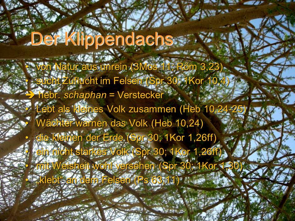 Der Klippendachs von Natur aus unrein (3Mos 11; Röm 3,23)