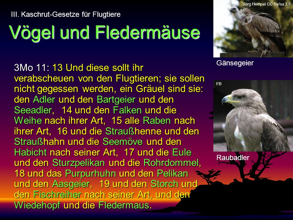 Jörg Hempel CC by/sa 3.0 Vögel und Fledermäuse. III. Kaschrut-Gesetze für Flugtiere. Gänsegeier.