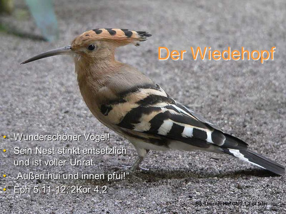 Der Wiedehopf Wunderschöner Vogel!