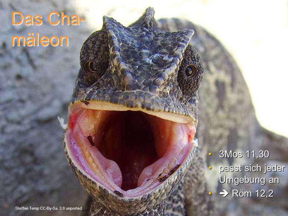 Das Cha- mäleon 3Mos 11,30 passt sich jeder Umgebung an  Röm 12,2