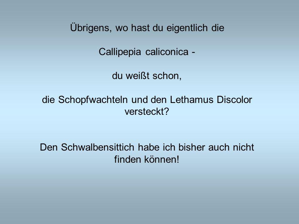 Übrigens, wo hast du eigentlich die Callipepia caliconica -