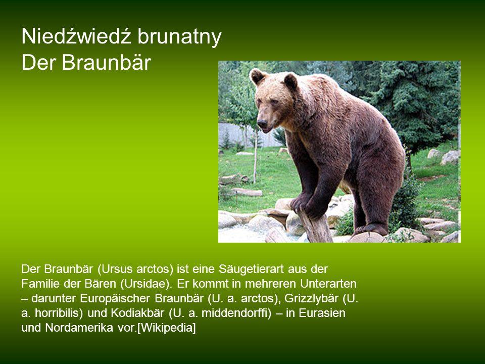 Niedźwiedź brunatny Der Braunbär