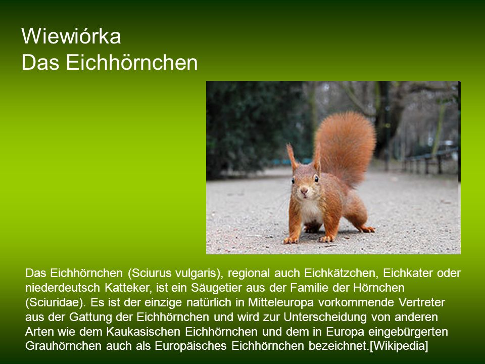 Wiewiórka Das Eichhörnchen