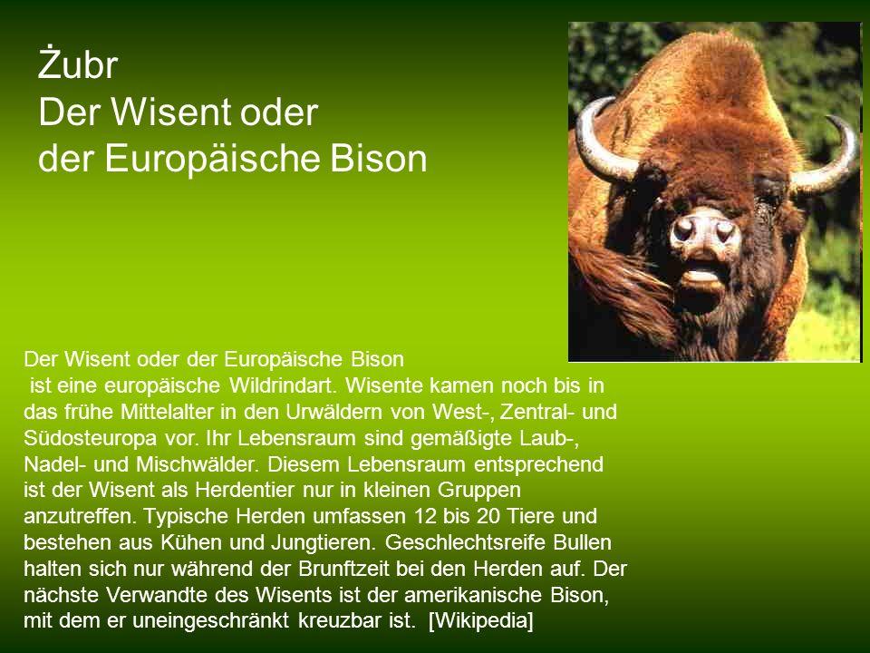 Żubr Der Wisent oder der Europäische Bison
