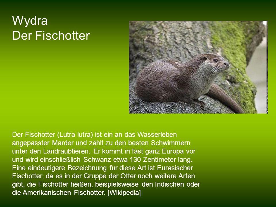 Wydra Der Fischotter.
