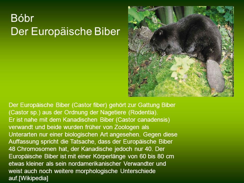 Bóbr Der Europäische Biber