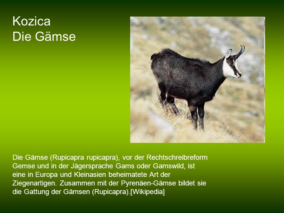 Kozica Die Gämse.