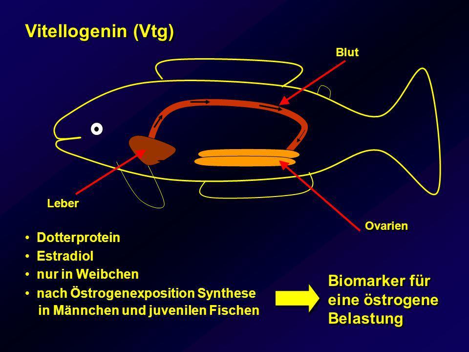 Vitellogenin (Vtg) Biomarker für eine östrogene Belastung