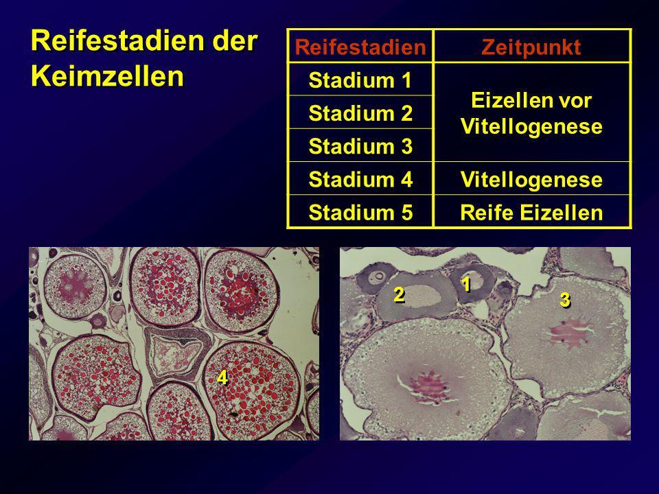 Reifestadien der Keimzellen
