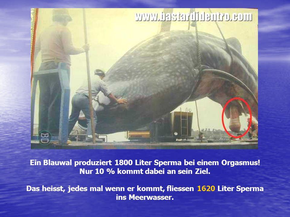 Ein Blauwal produziert 1800 Liter Sperma bei einem Orgasmus!