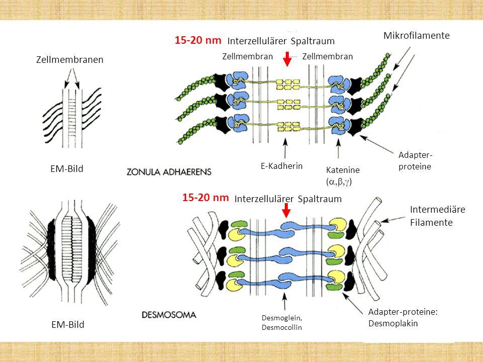 15-20 nm 15-20 nm Mikrofilamente Interzellulärer Spaltraum