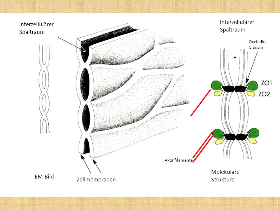 Interzellulärer Spaltraum Interzellulärer Spaltraum