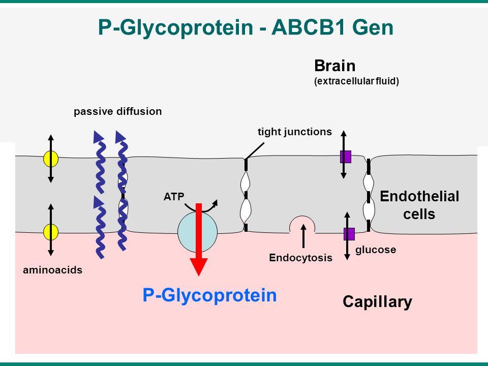 P-Glycoprotein - ABCB1 Gen