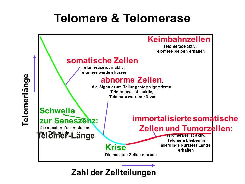 Telomere & Telomerase Keimbahnzellen somatische Zellen abnorme Zellen,