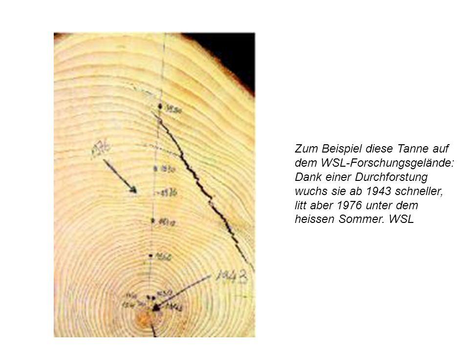Zum Beispiel diese Tanne auf dem WSL-Forschungsgelände: Dank einer Durchforstung wuchs sie ab 1943 schneller, litt aber 1976 unter dem heissen Sommer. WSL