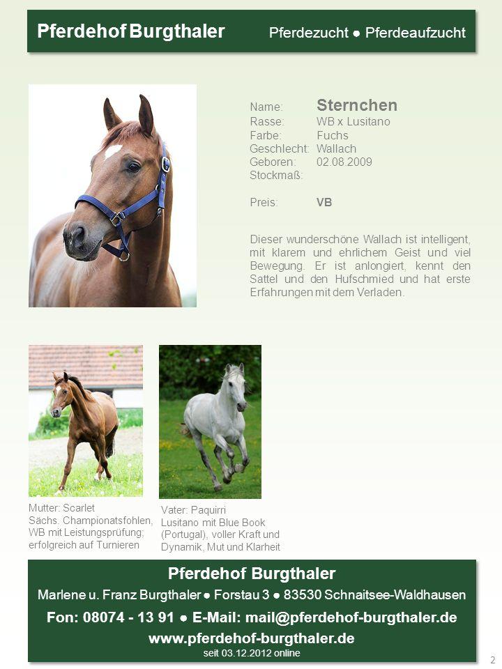 Name: Sternchen Rasse: WB x Lusitano Farbe: Fuchs Geschlecht: Wallach