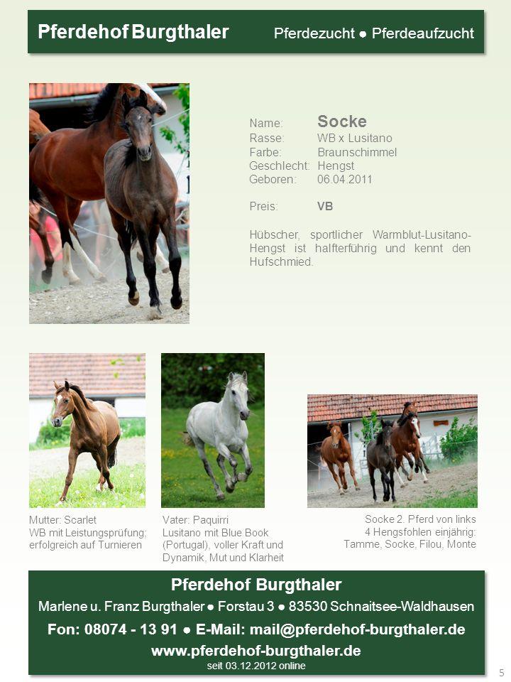 Name: Socke Rasse: WB x Lusitano Farbe: Braunschimmel