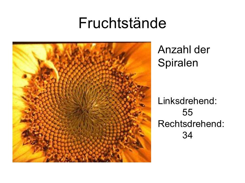 Fruchtstände Anzahl der Spiralen Linksdrehend: 55 Rechtsdrehend: 34