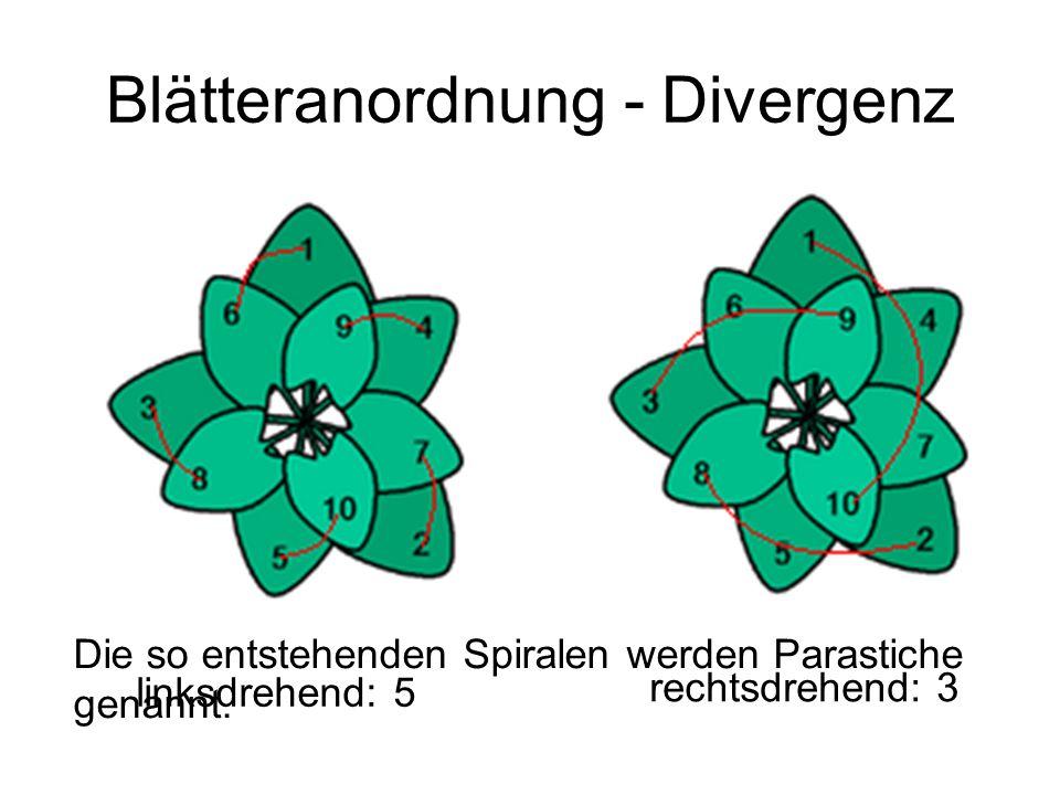 Blätteranordnung - Divergenz